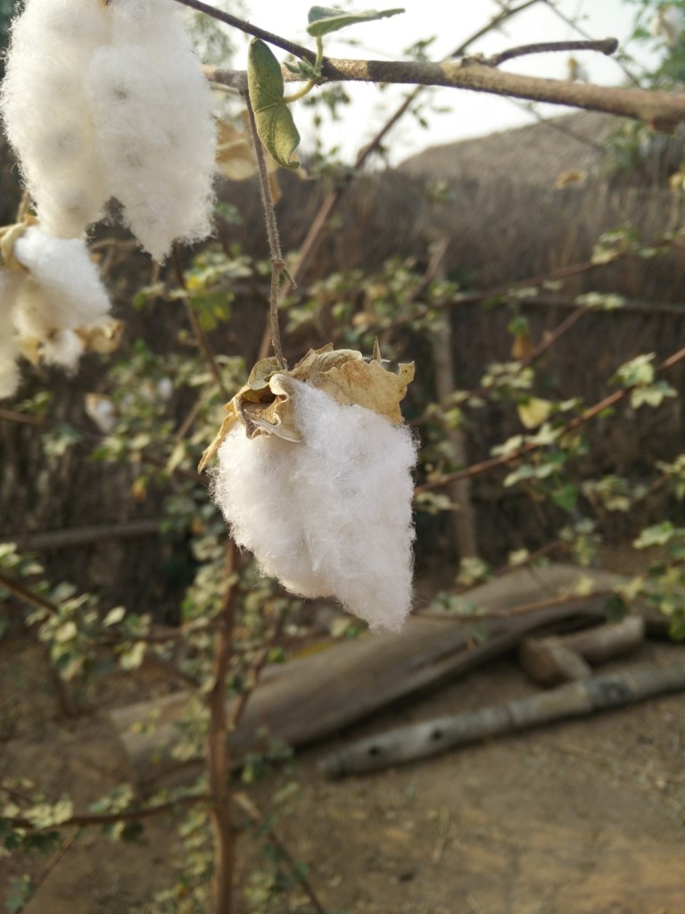Cotton grown in the local village.