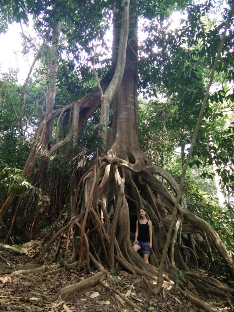 Giant tree in the Taman Negara jungle.