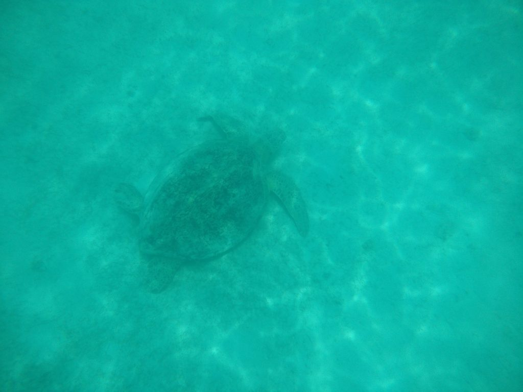 My attempt to take a picture of a turtle under water.