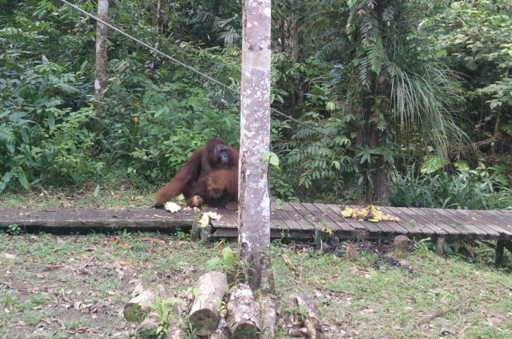 Richie, the alpha male of the orangutan rehabilitation park.