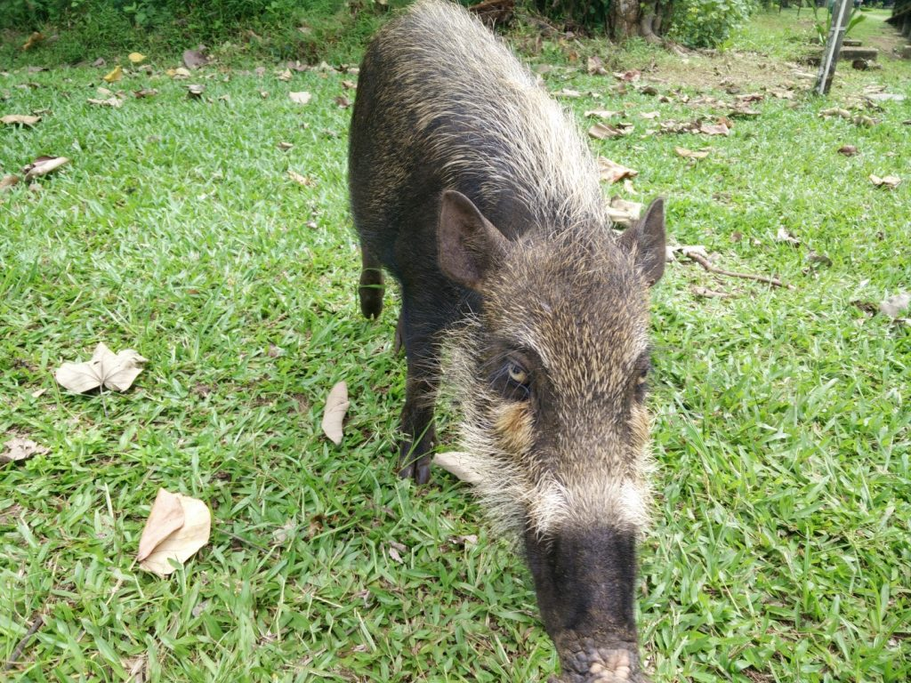Curious baby bearded pig.