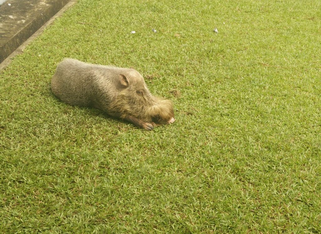 Bearded pig, chilling next to my room.