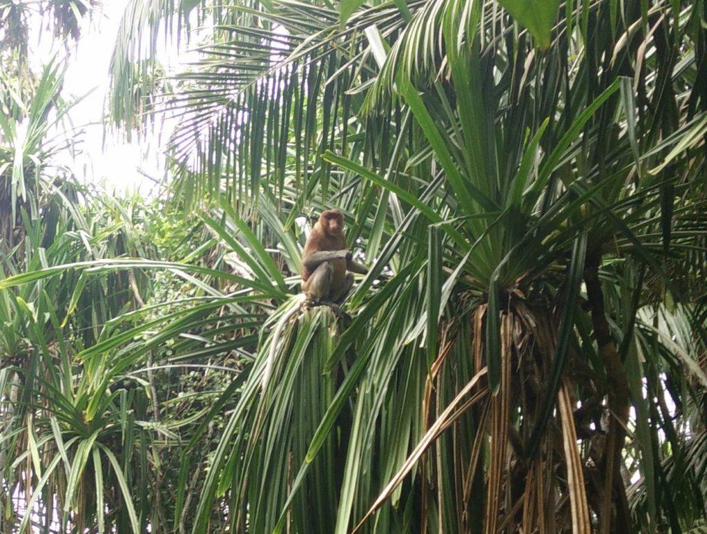 Proboscis monkey in its habitat :)