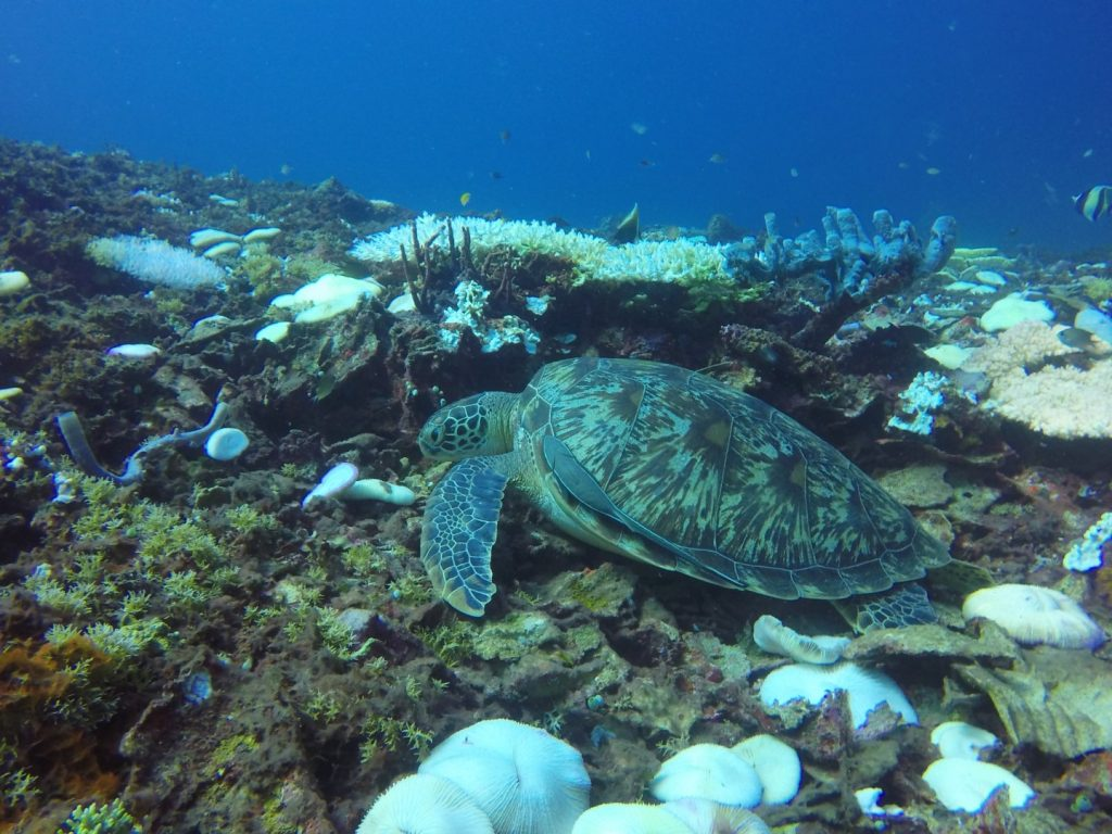 One of the turtles in Gili.