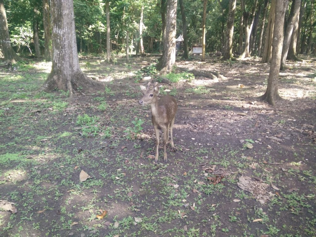 The friendly Pangandaran deer.