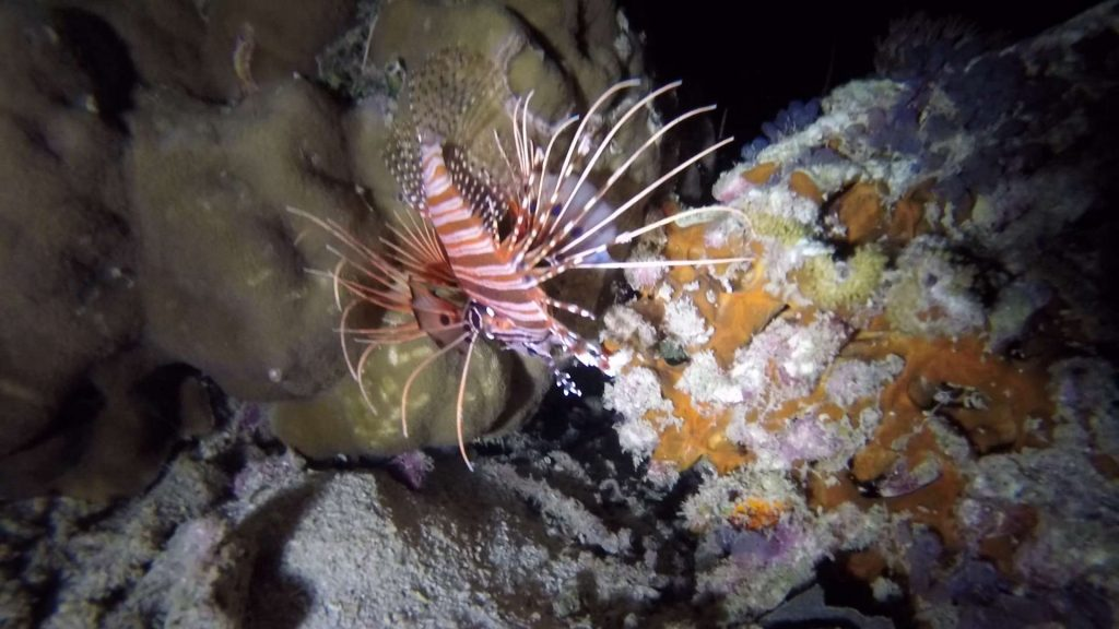 Picture of a lionfish during the night (i.e. with a flashlight). Light is a bitch underwater :)